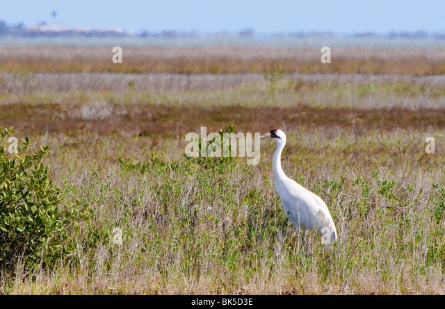 Whooping crane, Texas, United States of America, North America - Stock Image