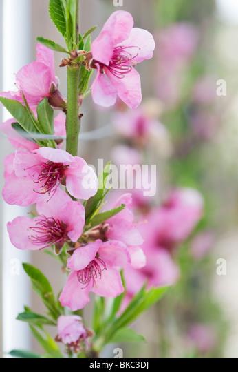 Prunus persica. Peach peregrine flower blossom - Stock Image
