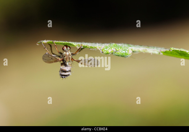 Hoverfly (Diptera syriphidae) killed by parasitic fungus - Stock Image