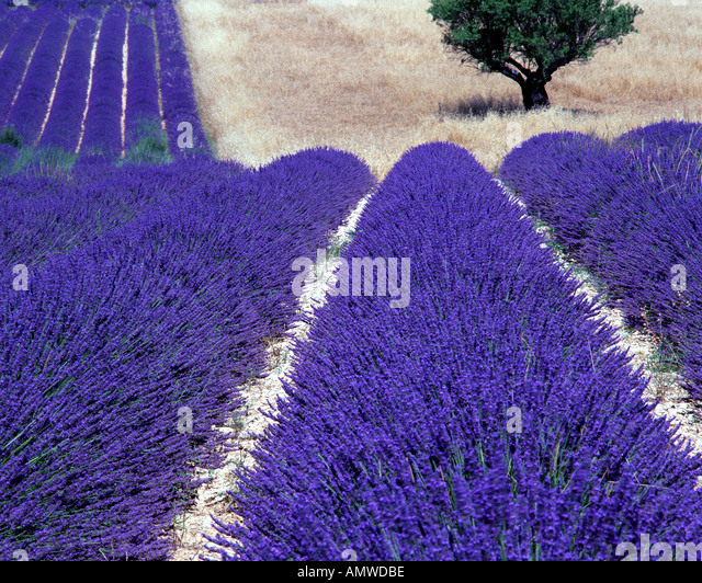 FR - ALPES-DE-HAUTE-PROVENCE: Lavender Field and tree on Plateau de Valensole near Puimoisson - Stock-Bilder