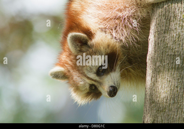 North American raccoon portrait in forest - Stock Image