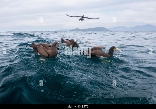 Brown Boobies (Sula leucogaster) floating on the surface in open ocean, off Ilha dos Búzios, SE Brazil - Stock Image