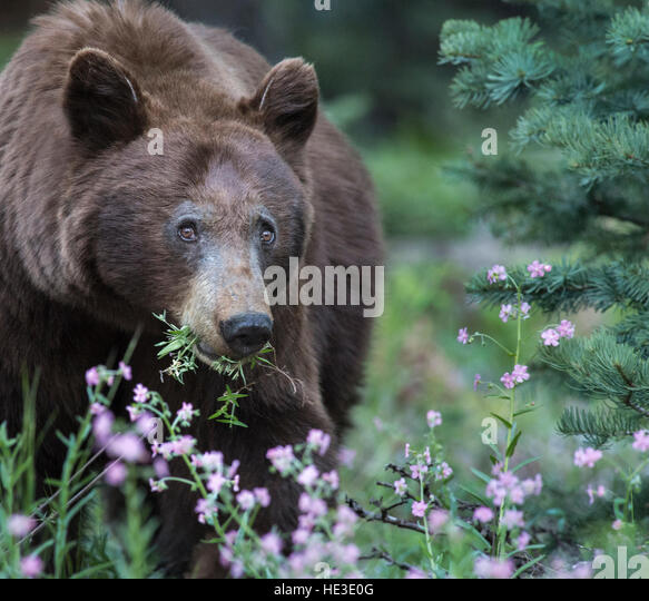 American Black Bear (Ursus americanus) eating flowers - Stock Image