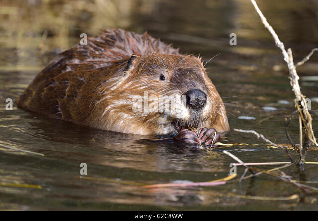 the characteristics of castor canadensis commonly known as canadian beaver The north american beaver (castor canadensis), also called the canadian beaver (which is also the name of a subspecies), american beaver, or simply beaver in north america, is native to canada, much of the united states and parts of northern mexicothis species was introduced to the argentine and chilean tierra del fuego, as well as finland, france, poland and russia.