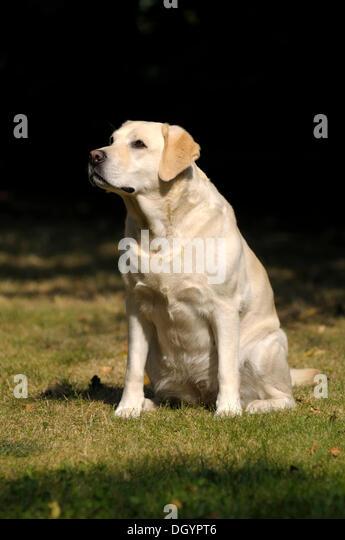 Blonde Labrador-Retriever sitting on a meadow - Stock Image