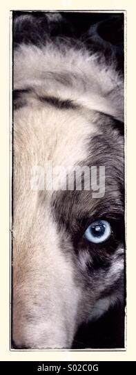Blue Merle Border Collie - Stock Image