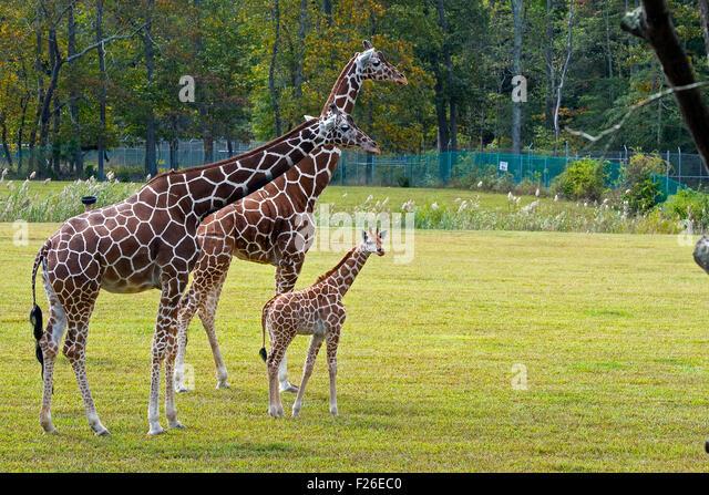 Giraffe Family - Stock Image