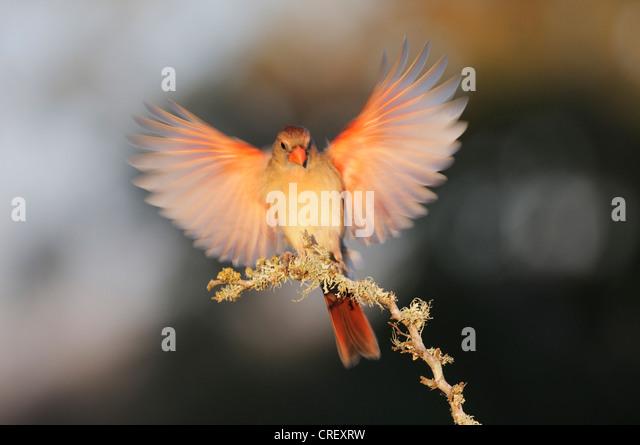 Northern Cardinal (Cardinalis cardinalis), female landing, Dinero, Lake Corpus Christi, South Texas, USA - Stock Image
