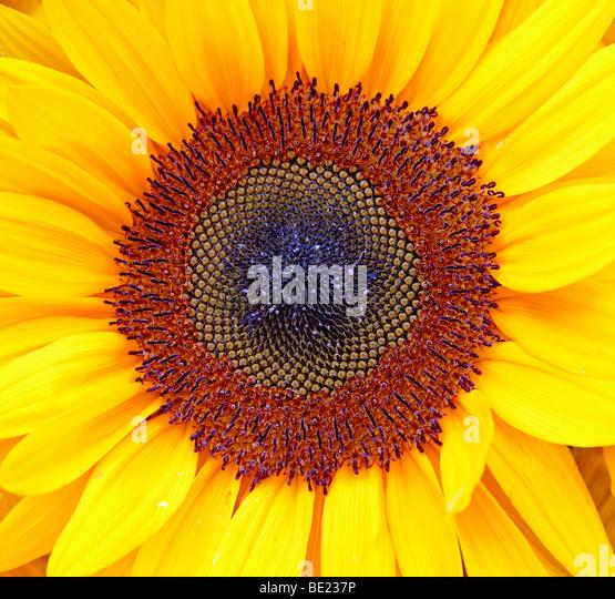 sunflower in bloom - Stock Image