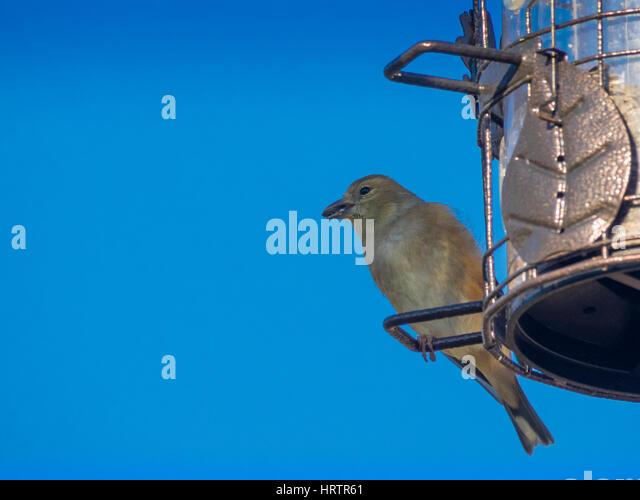 jilguero bird drinking water - photo #13