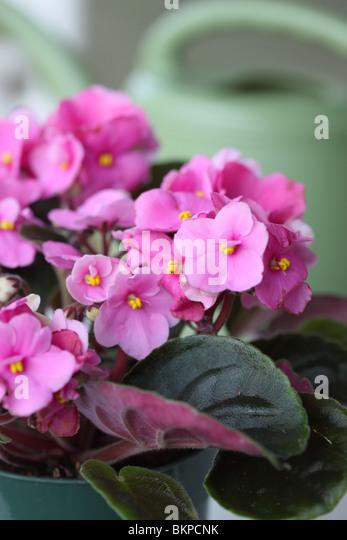 African Violet, Saintpaulia sp. - Stock-Bilder