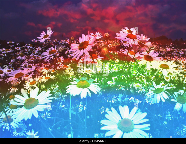 Flowers, meadow, flower meadow, ecological, marguerites, agriculture, blossoms, flourishes, alienated, concepts, - Stock-Bilder