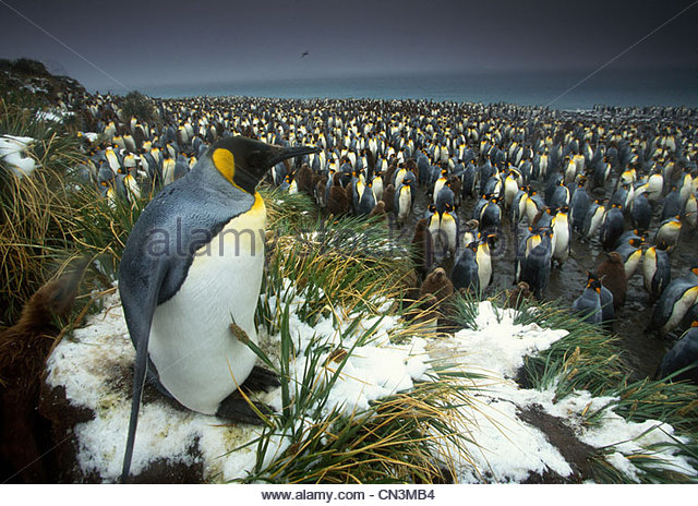 King penguin at edge of rookery, South Georgia Island - Stock Image