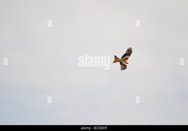 A Red Kite soars in the sky - Stock Image
