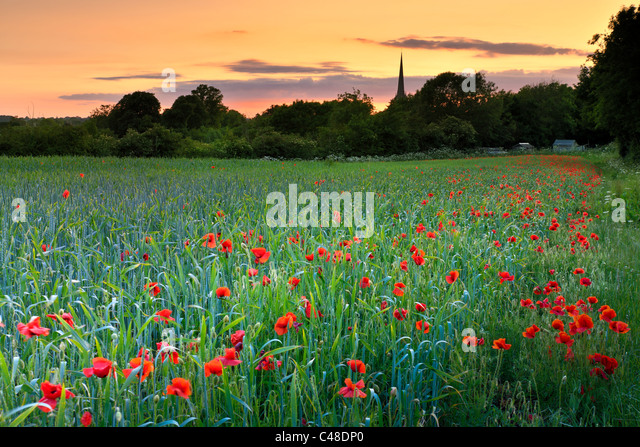 Tetbury Poppy Field - Stock Image