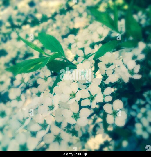 Deutzia gracilis, small white flowers commonly known as a slender deutzial, native to Japan and blooms in April - Stock Image