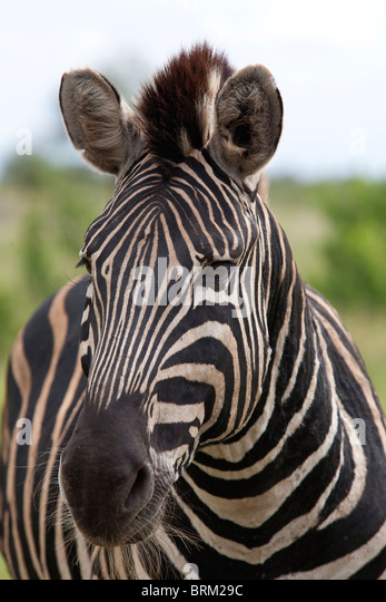 A zebra portrait - Stock Image