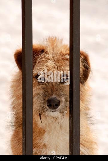 Thai Bangkaew Dog For Sale Uk