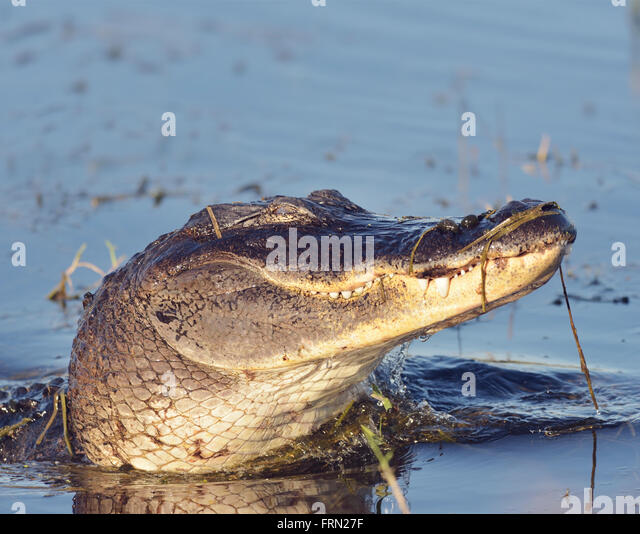 Wild Florida Alligator in a Lake - Stock-Bilder