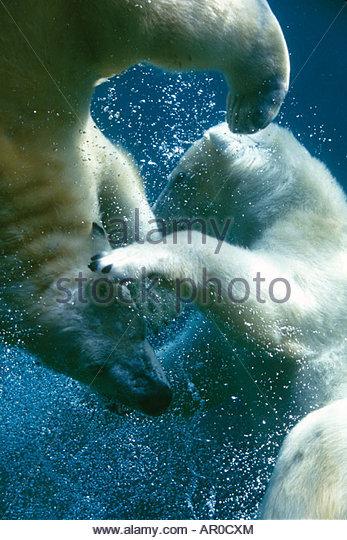 Captive Polar Bears underwater portrait - Stock-Bilder