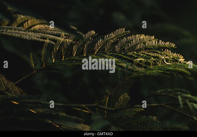 Golden sun light on fern plant - Stock Image