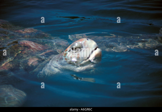 Sea Turtle With Head above Water Showing Mouth - Stock Image