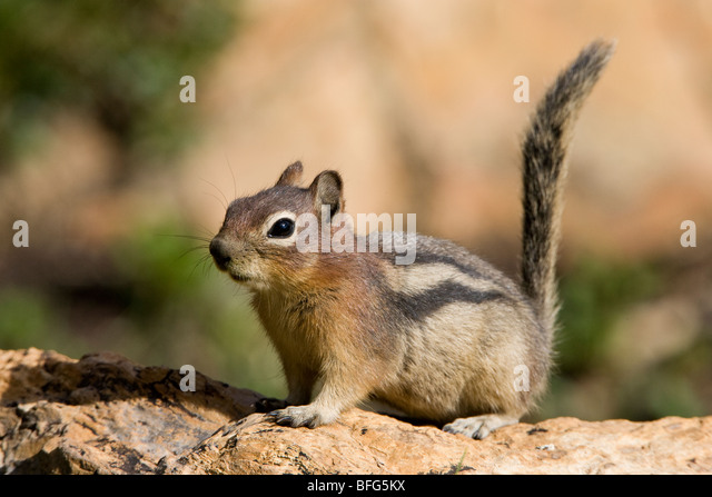 Golden-mantled ground squirrel (Spermophilus lateralis), Hidden Lake Overlook area, Glacier National Park, Montana, - Stock Image