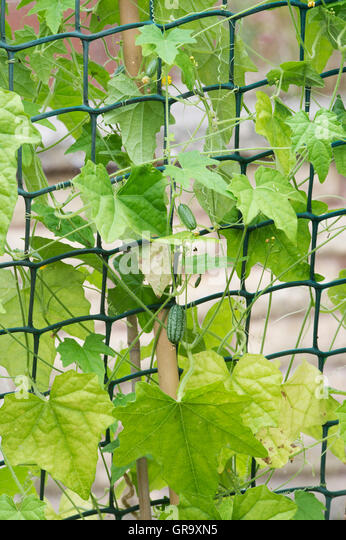 how to grow mouse melon
