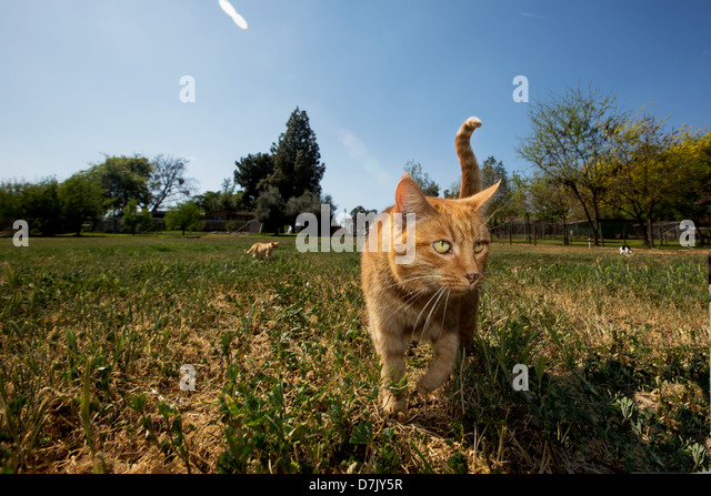 Cute ginger cat enjoying outdoors with another cat in distance in the grounds of the Cat House on the Kings in Parlier - Stock Image