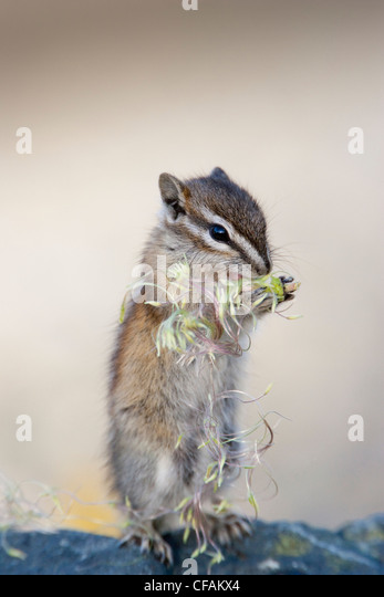 Least chipmunk (Tamias minimus) standing upright on a rock eating Mountain Avens, Kluane National Park, Yukon Territory, - Stock Image