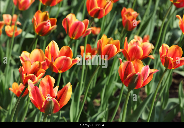 closeup of flowerbed with bright beautiful orange tulips, Threecolored Beauty sort - Stock Image