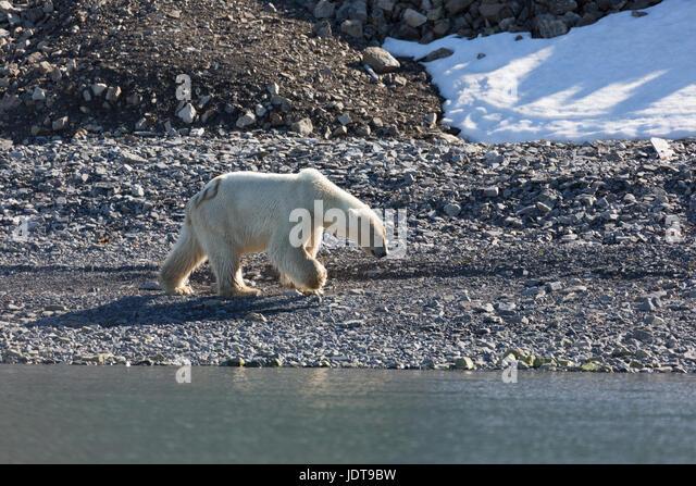 An adult polar bear walks along the a shingle beach in Mushamna, Spitzbergen - Stock Image