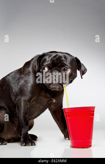Black pug dog drinking from straw - Stock Image