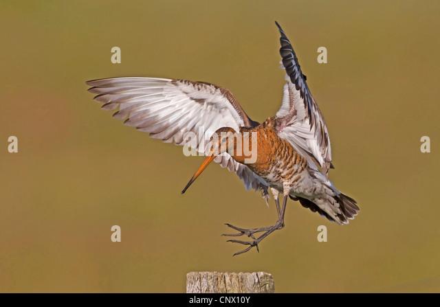 black-tailed godwit (Limosa limosa), landing on a pasture post, Netherlands - Stock Image