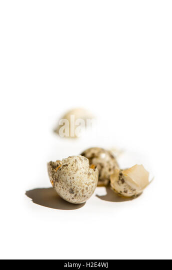Broken egg shells of house sparrow (Passer domesticus) songbird, white background. - Stock Image