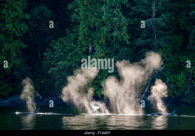 Orcas or Killer Whales (Orcinus orca) hunting near the shore. Mathieson Channel, near Mussel Inlet, Great Bear Rainforest, - Stock-Bilder
