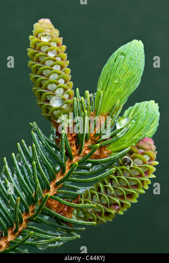 Developing cones of White Spruce Picea glauca after rain Michigan USA - Stock Image