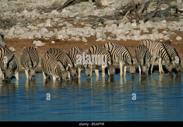 Zebra at a waterhole, Namibia, Africa - Stock Image