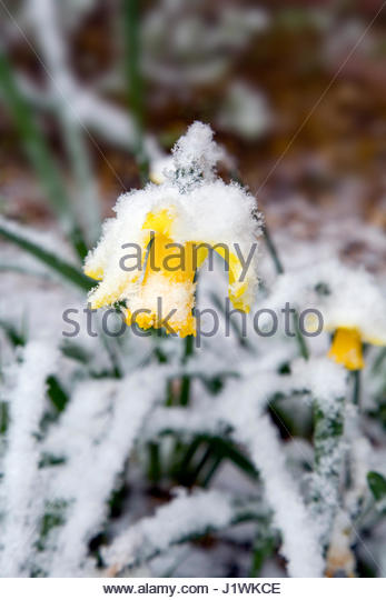 NARCISSUS  DAFFODIL COVERED IN SNOW IN THE SPRING. - Stock Image