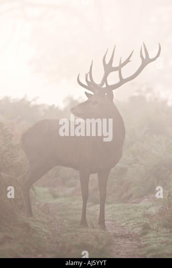 Red deer Cervus elaphus stag standing looking alert in early morning mist with nice autumnal bracken in background - Stock Image