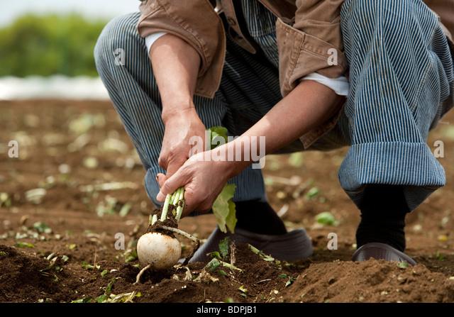 Human hand of senior man harvesting - Stock Image