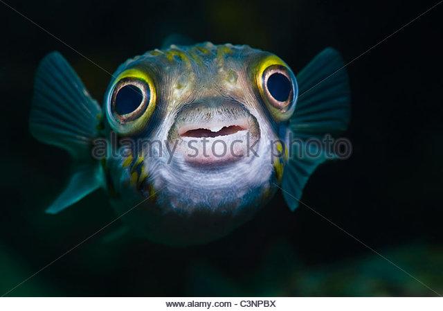 Close-up of Pufferfish - Stock Image