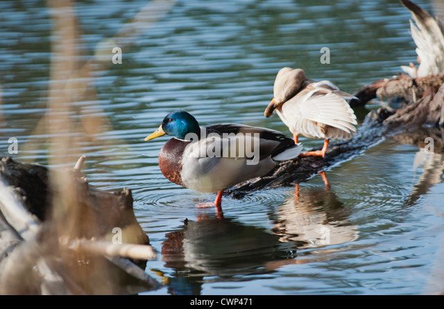 Male and female Mallard ducks in shallow water - Stock Image