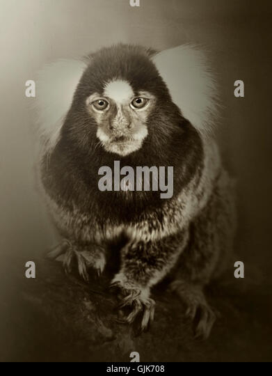 portrait of exotic monkey staring at camera - Stock Image