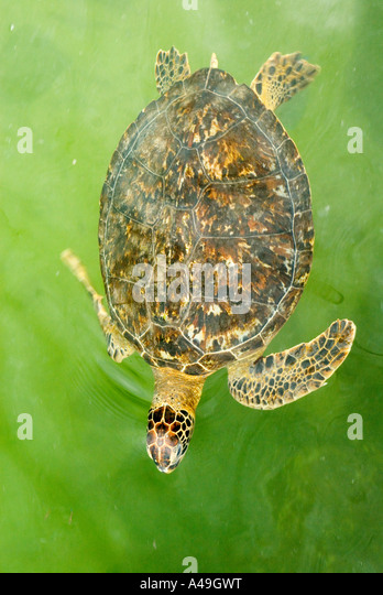 USA Florida Keys Injured Hawksbill Turtle in rehabilition tank The Turtle Hospital Marathon Fl - Stock Image