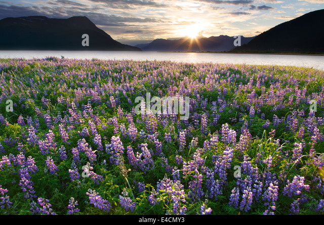 Field of Lupine wildflowers along Turnagain Arm, Chugach National Forest, Alaska. - Stock Image