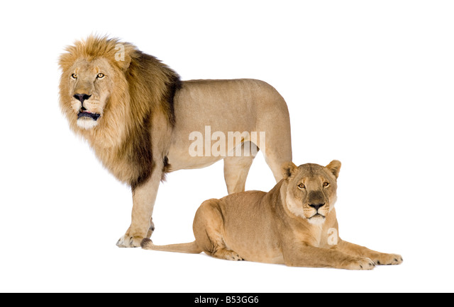 Lioness and Lion Panthera leo in front of a white background - Stock Image