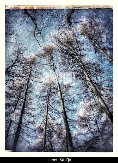 Trees in an ancient woodland against a blue sky - Stock Image