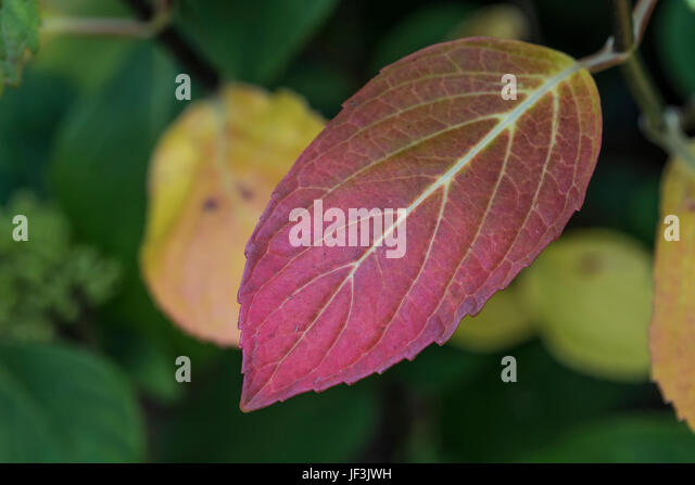 Purple-red leaf of an unknown garden plant in a Truro public park. - Stock Image