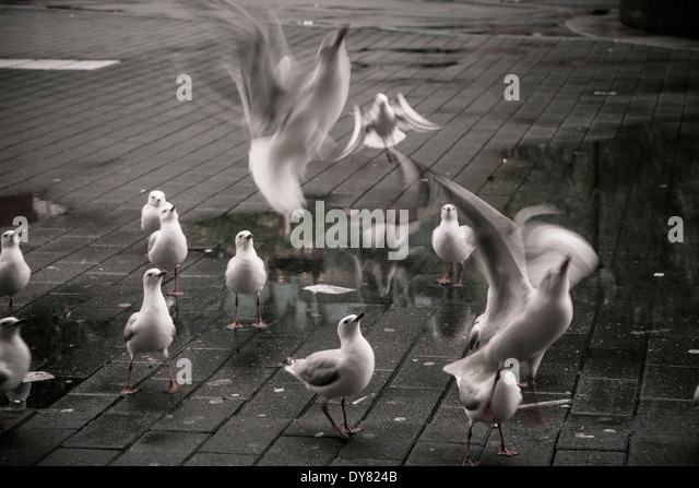 Australia, New South Wales, Sydney, flock of seagulls - Stock Image